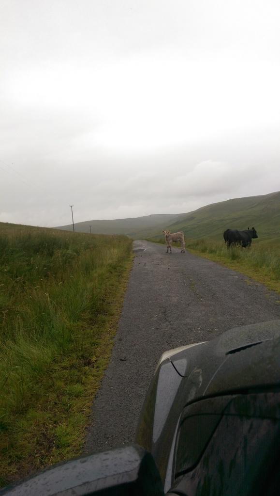 Hi Cow. Meet Car!