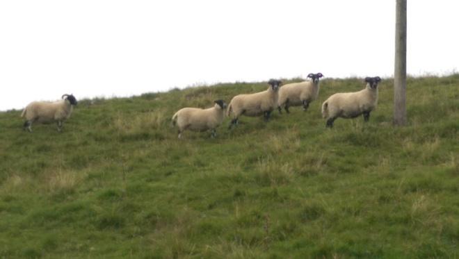 Oh, hello sheep!